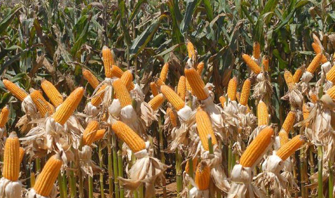 Safra de grãos 2018/2019 deve ter segunda maior colheita de milho